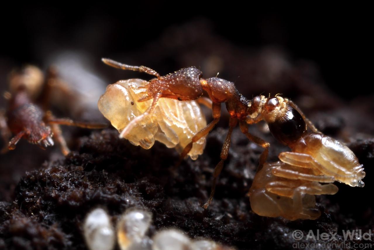 Strumigenys rostrata carrying a pupa.  Urbana, Illinois, USA