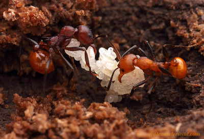 Aphaenogaster tennesseensis with eggs and young larvae.  The difference in color between the two adult ants is due to their age, as ants darken over time.  Urbana, Illinois, USA