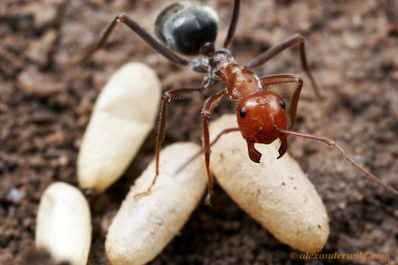 Myrmecocystus mendax honeypot ant, with pupae.  Chiricahua mountains, Arizona, USA