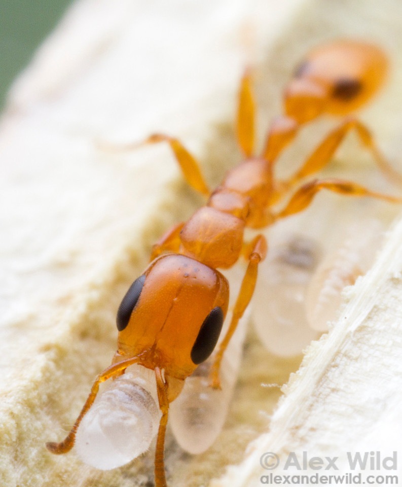 Pseudomyrmex simplex worker with larvae. This species is among the most common  Pseudomyrmex from subtropical North America south to Argentina.  Monte Verde, Minas Gerais, Brazil