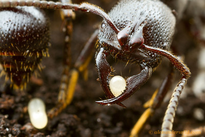 The impressive predatory mandibles of Psalidomyrmex reichenspergeri can also be used delicately to transport eggs in the nest.  Kibale forest, Uganda