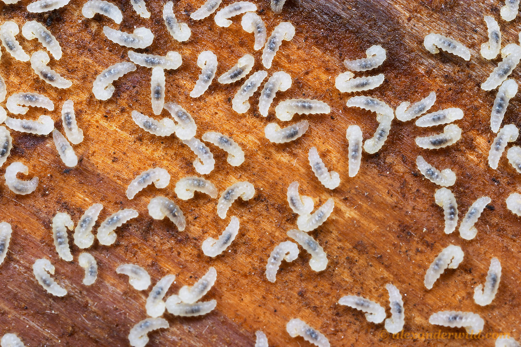 Lasius pallitarsis larvae.  Sierra Nevada, California, USA