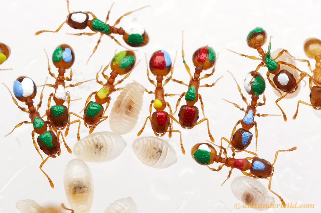 Temnothorax rugatulus.  Ants in this laboratory nest are individually marked with dabs of paint to help researchers at the University of Arizona track their activities. As Temnothorax are hardy ants that adapt well to the laboratory, they are frequently used for studies of ant behavior.  Tucson, Arizona, USA