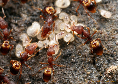 Strumigenys rostrata workers with larvae in the brood nest.  Vermillion River Observatory, Illinois, USA