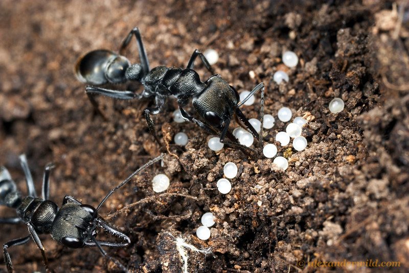 Myrmecia tepperi, with eggs.  Mt. Remarkable, South Australia