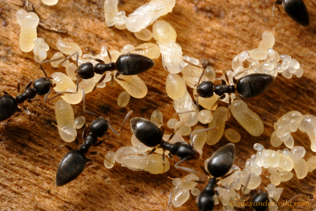 Technomyrmex difficilis. Ants, like butterflies, have complete metamorphosis.  They pass through egg, larva, and pupa phases on the way to maturity, all visible in this nest of white-footed ants.  St. Lucia, KZN, South Africa