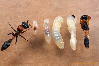 The life cycle of  the twig ant Pseudomyrmex gracilis.  Archbold Biological Station, Florida, USA