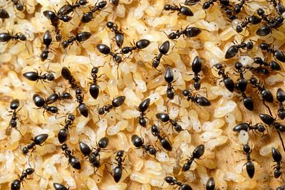 Technomyrmex difficilis, brood nest with workers and developing larvae and pupae.  This African species has become a pest in warm climates around the world.  St. Lucia, KZN, South Africa