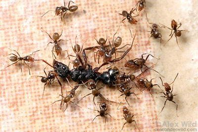 Azteca velox recruit to the carcass of an Ectatomma species.  Ants are the great recyclers: few insects die in tropical forests that aren't scavenged immediately by ants.  Isla Contadora, Panama