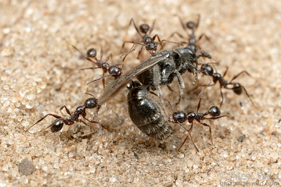 Pheidole obscurithorax stays ahead of the competition using group retrieval of food items (in this case, a scavenged wasp carcass).  Working together the ants can usually get the bounty home before a more aggressive species usurps their find. P. obscurithorax is a regular competitor of Solenopsis fire ants, both in its native Argentina and along the U.S. gulf coast where both species have been introduced.  Entre Rios, Argentina
