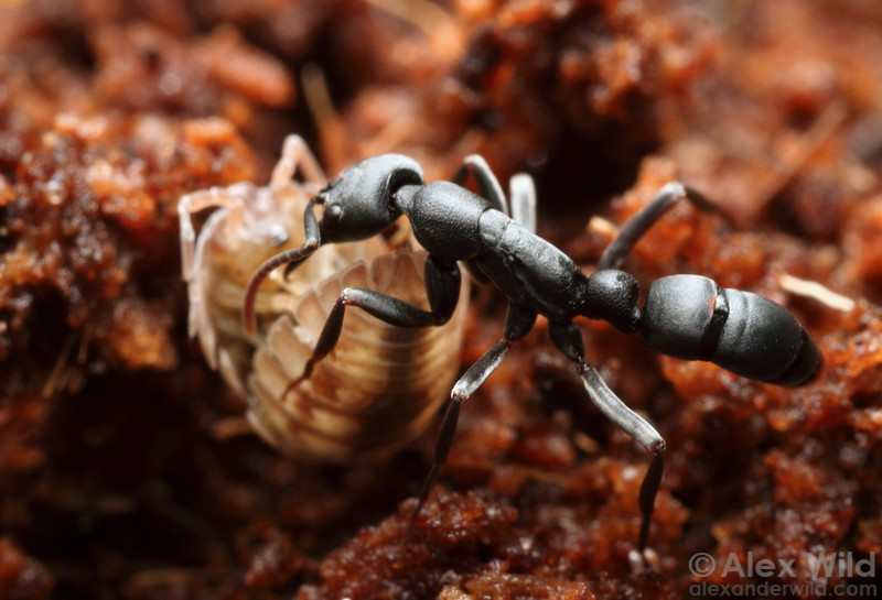 Leptogenys falcigera is a predatory ant that attacks isopods.  Hawaii