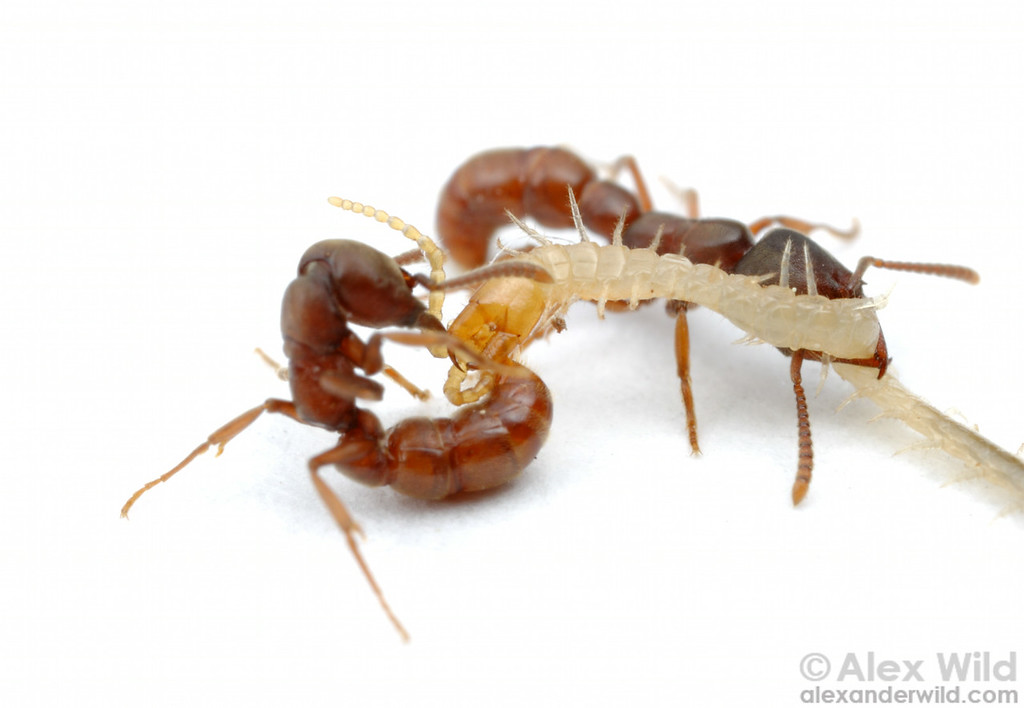 Ouch! A dracula ant (Stigmatomma oregonensis) sinks her sting deep into the head capsule of a centipede.   Quincy, California, USA