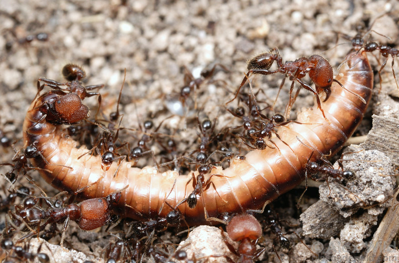 In its native Argentina, a colony of Pheidole obscurithorax has found an millipede.  Major workers use their powerful jaws to slice away parts of the unfortunate myriapod, while minor workers specialize in carrying the bits back to the nest.  Entre Rios, Argentina