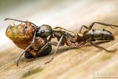 The golden huntress ant Pachycondyla villosa is an active predator found across the warm Neotropics. This individual has killed a caterpillar and is carrying her prey back to the nest.  Armenia, Belize