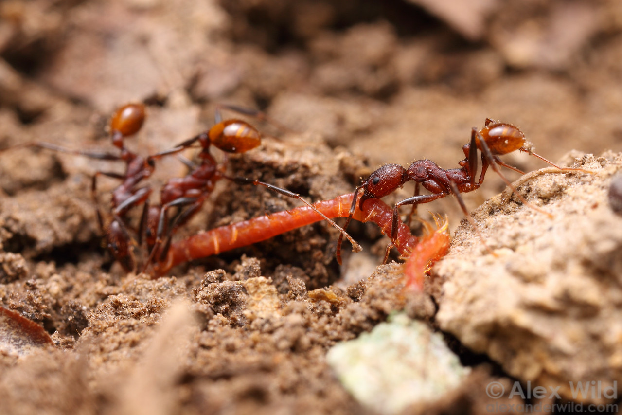 These Aphaenogaster lamellidens foragers have discovered a live centipede and are attempting to pull it from its burrow.  Dixon Springs, Illinois, USA