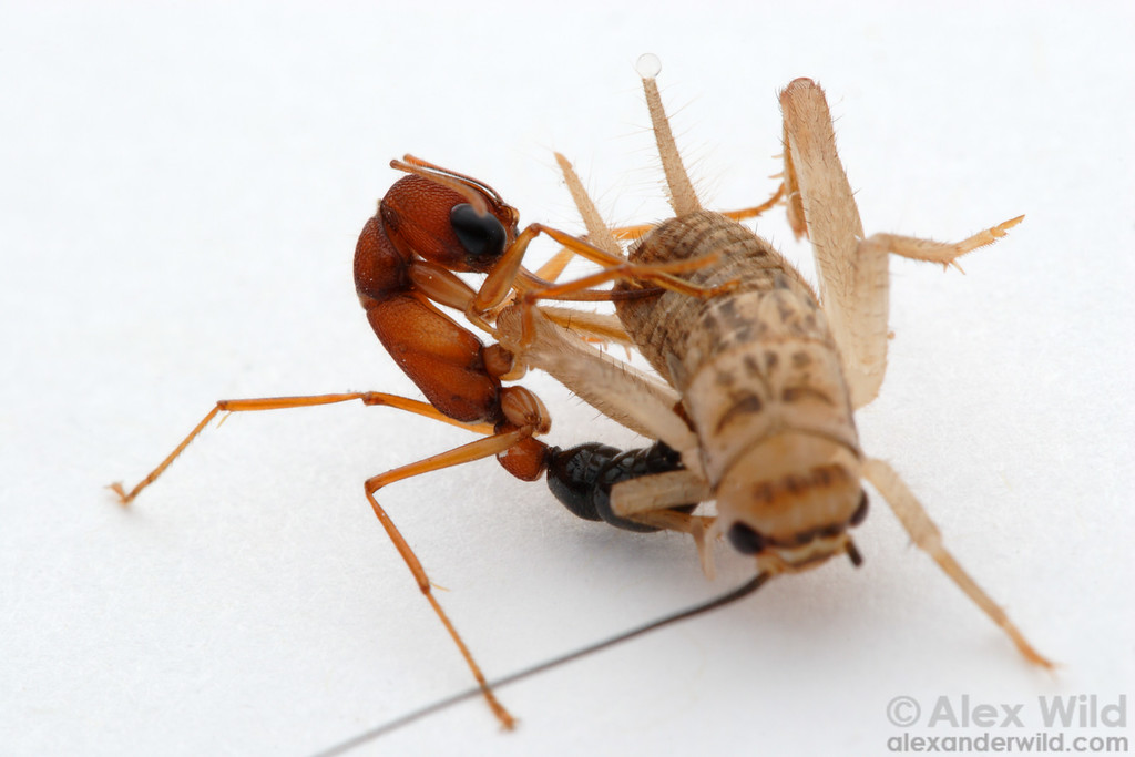 Hunting technique in Harpegnathos saltator jumping ants: snare the prey with tiny barbs on the long mandibles and reach around with the stinger to find a soft spot.   Laboratory colony at Arizona State University, USA
