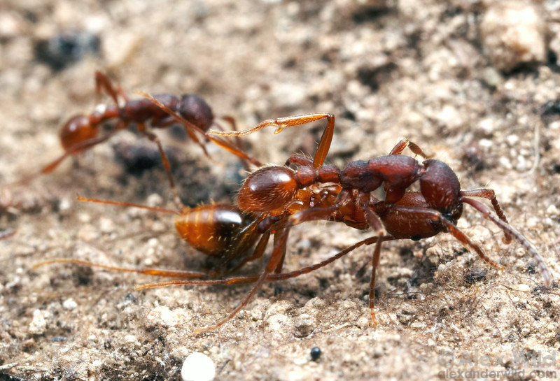 Neivamyrmex nigrescens army ants are predators of other ant species.  Here an army ant worker carries a paralyzed prey ant back from a successful raid on an Aphaenogaster nest.   Huachuca Mountains, Arizona, USA