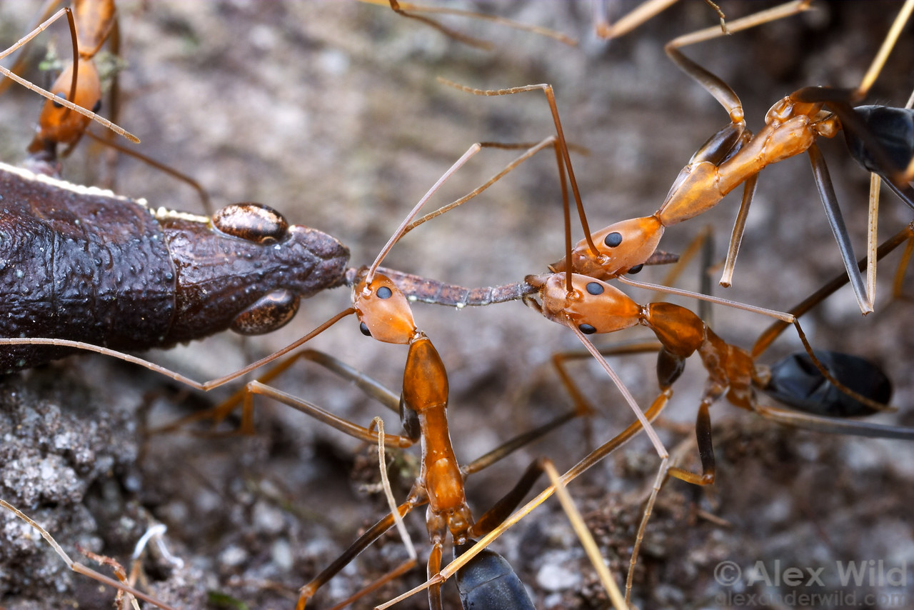 Leptomyrmex rufipes workers cooperate to bring a grasshopper carcass back to their nest.  Mungkan Kandju National Park, Queensland, Australia