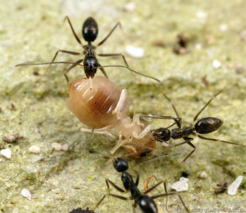 Paratrechina longicornis - black crazy ant.  Workers cooperate to bring a termite carcass back to their nest.  Isla Contadora, Panama