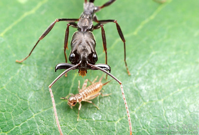 Odontomachus bauri. Millisecnds ahead of a mandible strike, a tropical trap-jaw ant closes in on its cricket prey.  La Selva, Heredia, Costa Rica