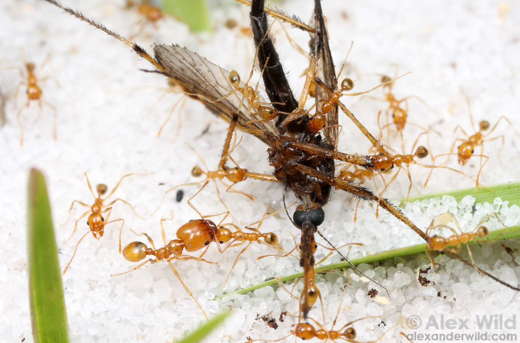 Pheidole dentata workers recruit to a dead mosquito.  This ant species is normally much darker in color, but populations along the sand ridges of central Florida are unusually pale.  Archbold Biological Station, Florida, USA