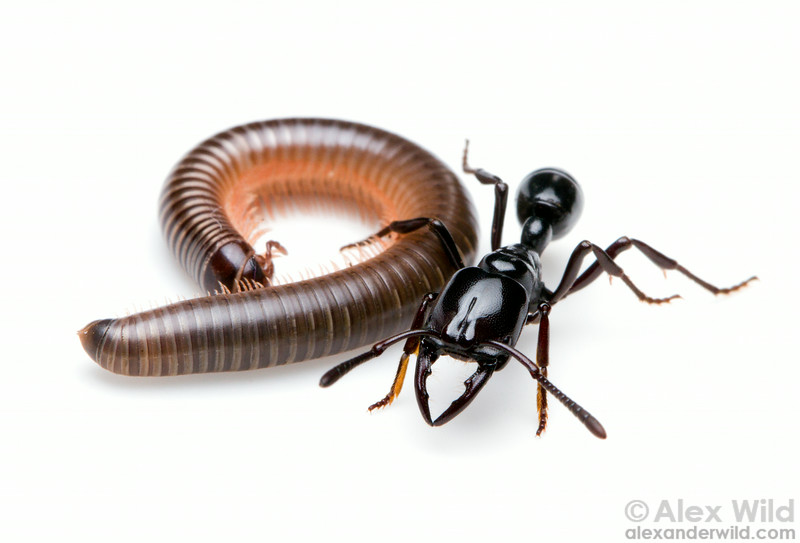 A Plectroctena cristata forager poses with a millipede she has paralyzed.  Kibale Forest, Uganda