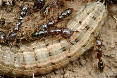 Amblyopone australis dracula ants are subterranean predators.  Here they are seen attacking a moth larva.  Yandoit, Victoria, Australia