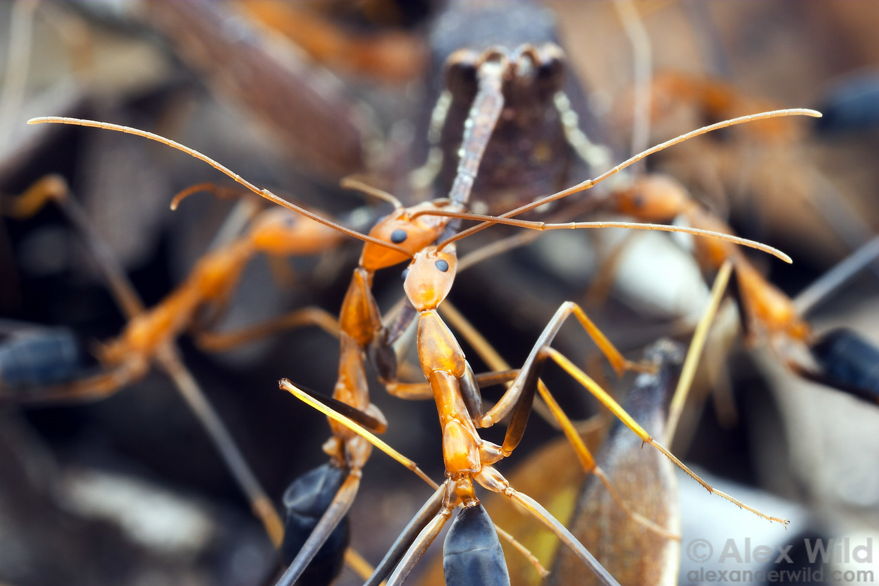Leptomyrmex rufipes workers cooperate to bring a grasshopper carcass back to their nest.  These large, leggy insects are some of the most gracile ants in the world; note the impressive spread of the antennae of the foreground worker.  Mungkan Kandju National Park, Queensland, Australia