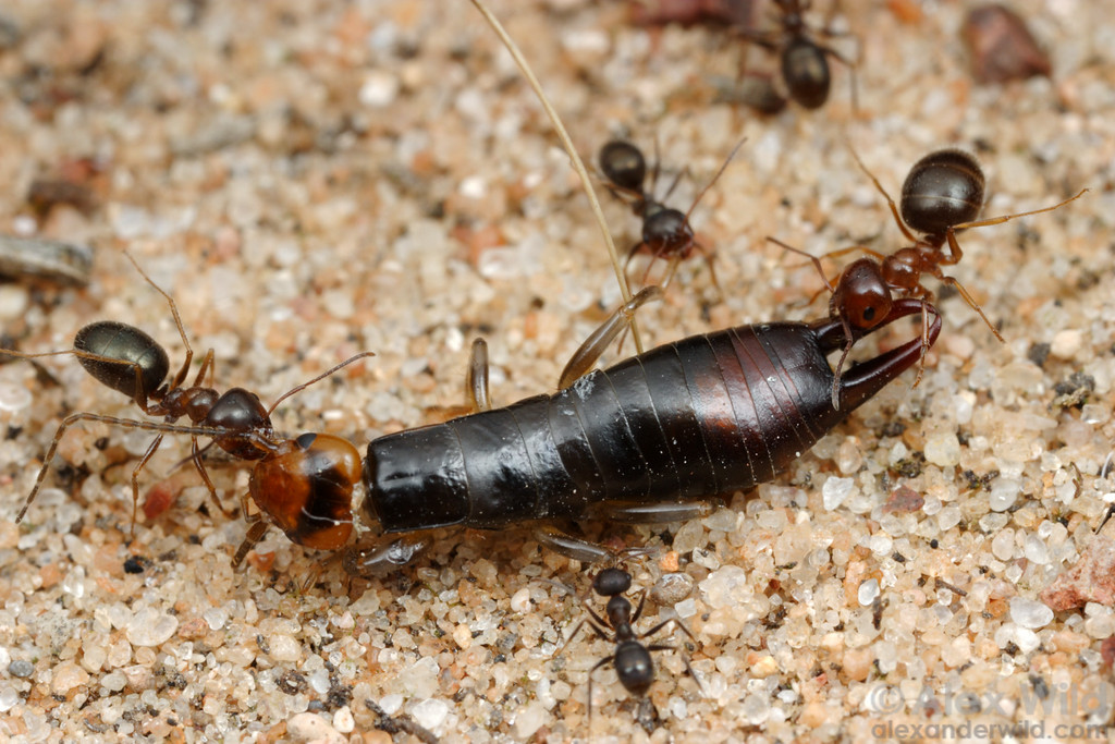 Melophorus sp. ants drag an earwig back to the nest.  Notice the different sizes of worker ants- this species is polymorphic in the worker caste.  Poochera, South Australia
