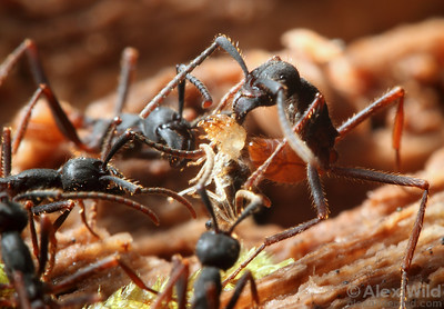 Eciton burchellii army ant workers pull a termite from a rotting log.  Jatun Sacha reserve, Napo, Ecuador