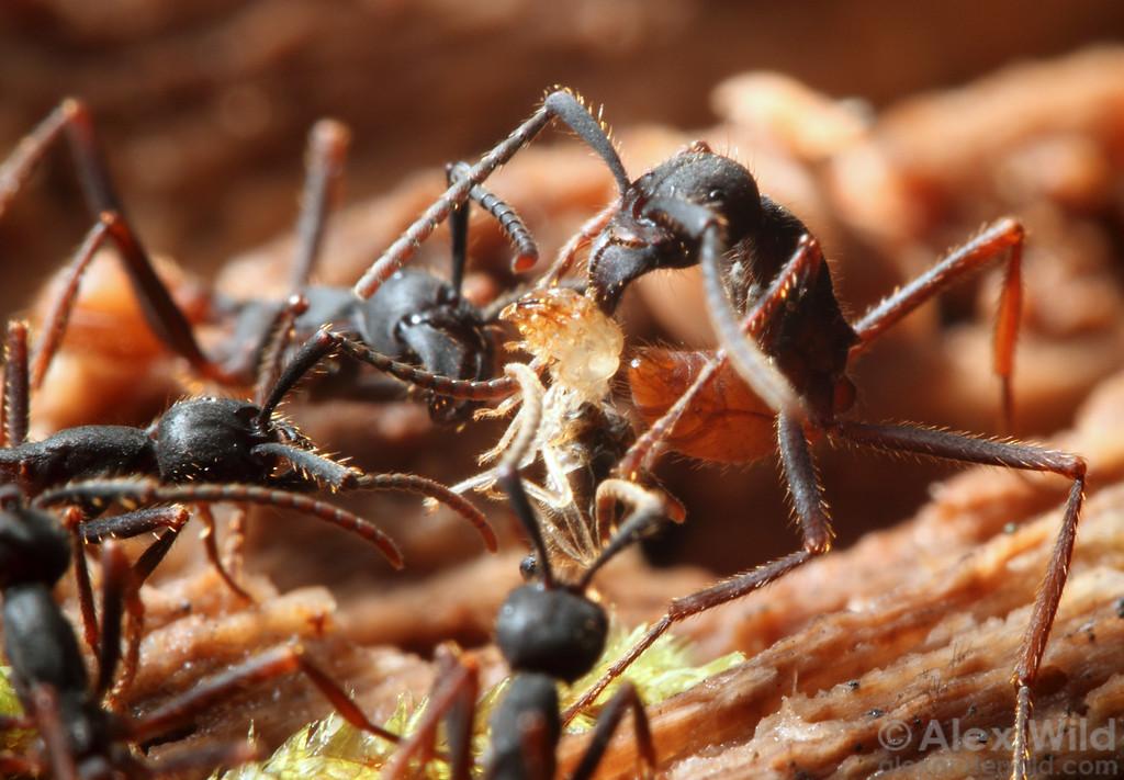 Eciton burchellii exército formigas trabalhadoras puxar um cupim a partir de um tronco podre.  Reserva Jatun Sacha, Napo, no Equador