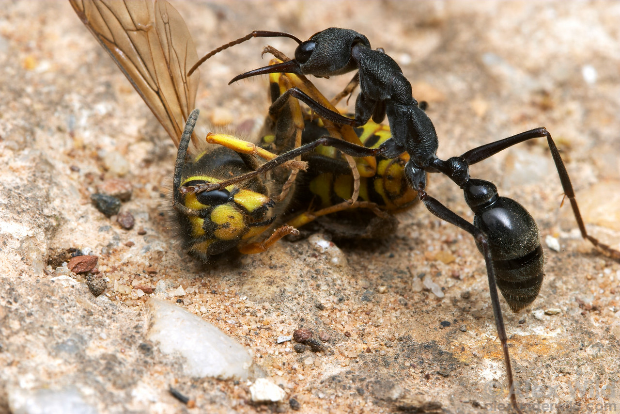 Few ants are able to make a European wasp look as small as does this enormous Myrmecia pyriformis bull ant.  Yandoit, Victoria, Australia