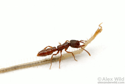 Stigmatomma oregonensis is a specialist predator of geophilomorph centipedes.  Here, a worker ant carries a centipede it has paralyzed back to her nest.  Quincy, California, USA