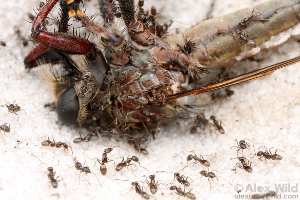 A fallen robber fly quickly attracts ants.  In the heat of mid-day, a thermophilic Forelius is the only species that tolerates the hot sand.    Archbold Biological Station, Florida, USA