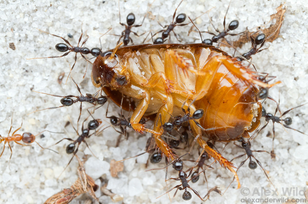 Pheidole obscurithorax stays ahead of the competition using group retrieval of food (in this case, a scavenged cockroach carcass).  Working together, the ants can usually get the bounty home before a more aggressive species usurps their find.  Orlando, Florida, USA