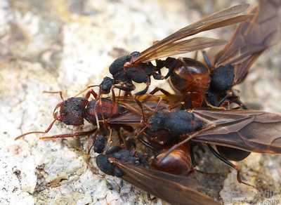 A queen leafcutter ant (Acromyrmex versicolor) falls to the ground surrounded by multiple males attempting to mate with her.  Leafcutter females typically mate with many males.  Tucson, Arizona, USA