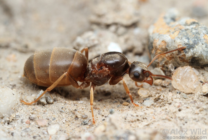 A Lasius neoniger queen pauses for a rest while she searches for a suitable nesting site after her mating flight.  Urbana, Illinois, USA