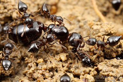 Crematogaster lineolata queen with her retinue of workers.  Vermillion River Observatory, Illinois, USA