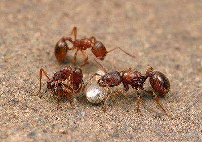 A queen (right) and two worker Stenamma dyscheres. Notice the small eye size of the workers, a trait common to all subterranean ants.  Empire Mine State Park, California, USA