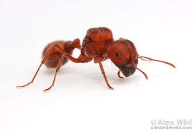 Pogonomyrmex badius, the Florida harvester ant, queen.  Her enlarged thorax holds muscles from younger days when she had wings for dispersing from her natal nest.  Archbold Biological Station, Florida, USA