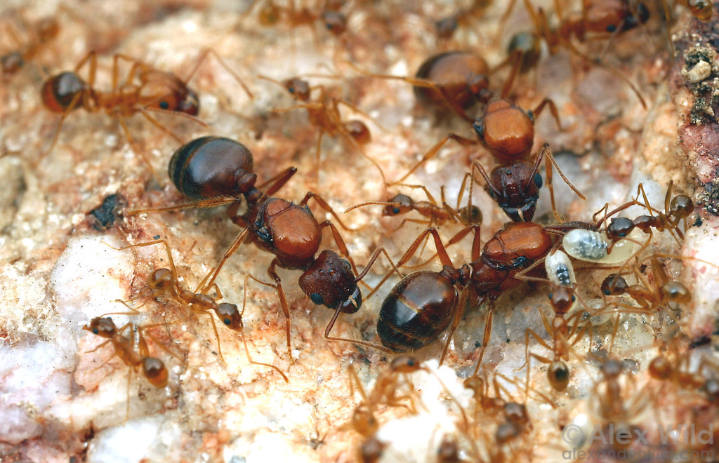 Multiple queens in the nest of a polygynous ant, Pheidole desertorum  Mojave National Preserve, California, USA