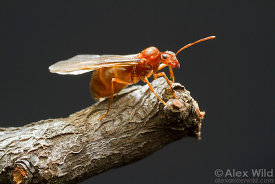 A Prenolepis imparis winter ant gyne climbs a twig prior to her early spring mating flight.  Urbana, Illinois, USA