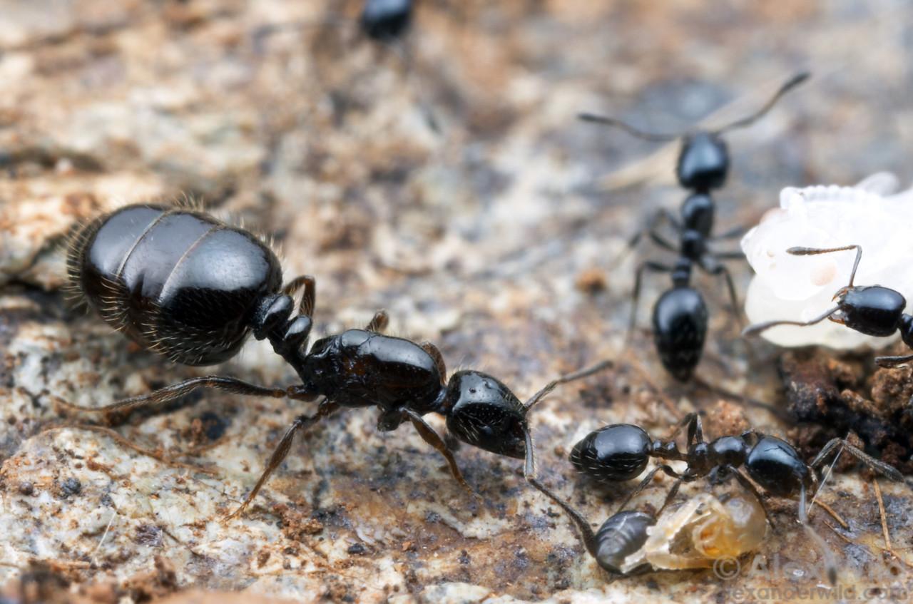 Monomorium ergatogyna queen and workers.  Mt. Tamalpais, Marin Co., California, USA