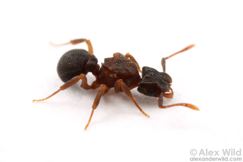Cyphomyrmex rimosus, queen.  Archbold Biological Station, Florida, USA