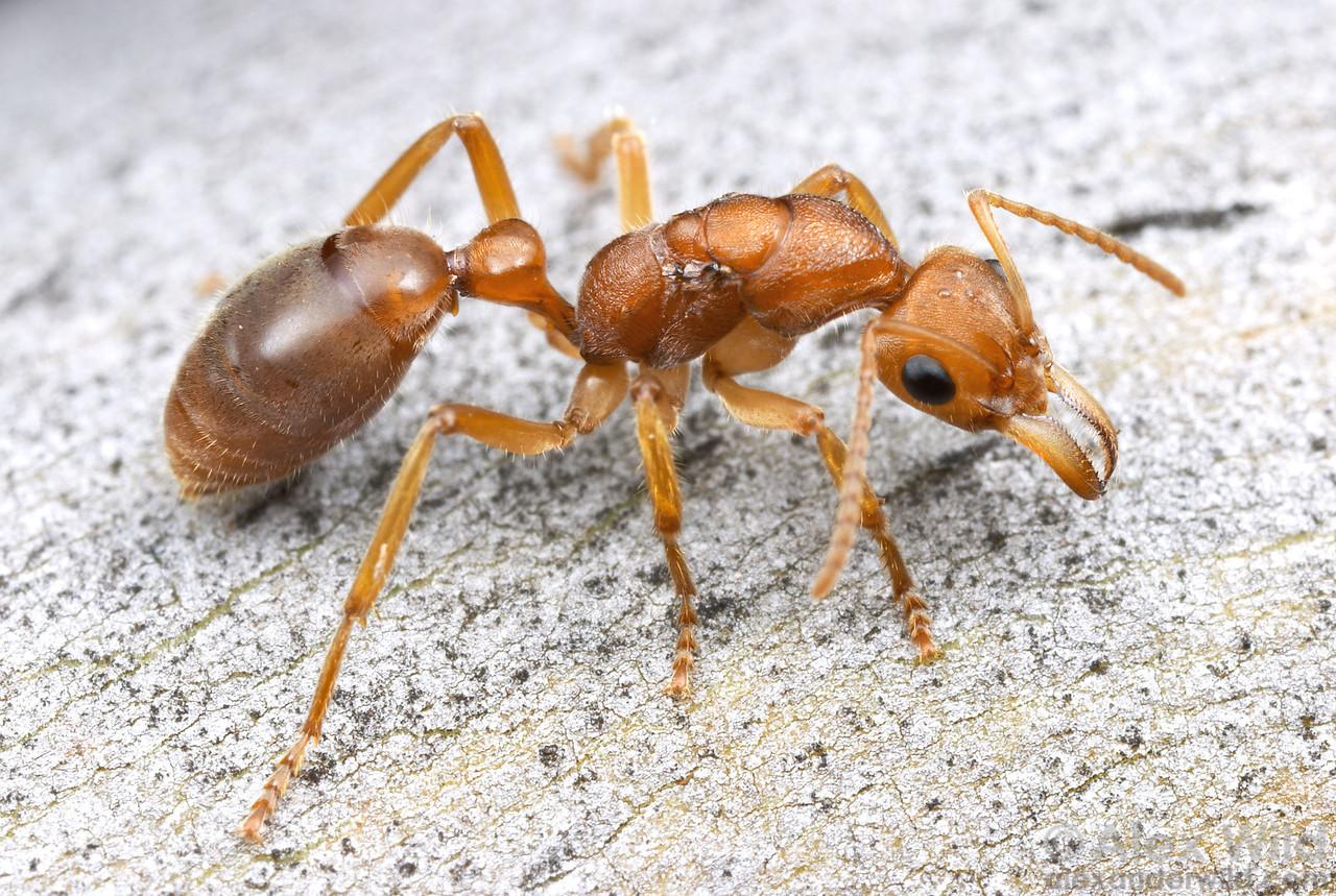 Nothomyrmecia macrops dinosaur ant queen.  Poochera, South Australia