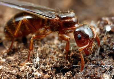 Lasius (Acanthomyops) claviger is a nest-founding parasite.  Following this young queen's mating flight, she will attempt to enter the nest of a Lasius species, kill the resident queen, and coopt the Lasius worker force to raise out her own offspring.   South Bristol, New York, USA