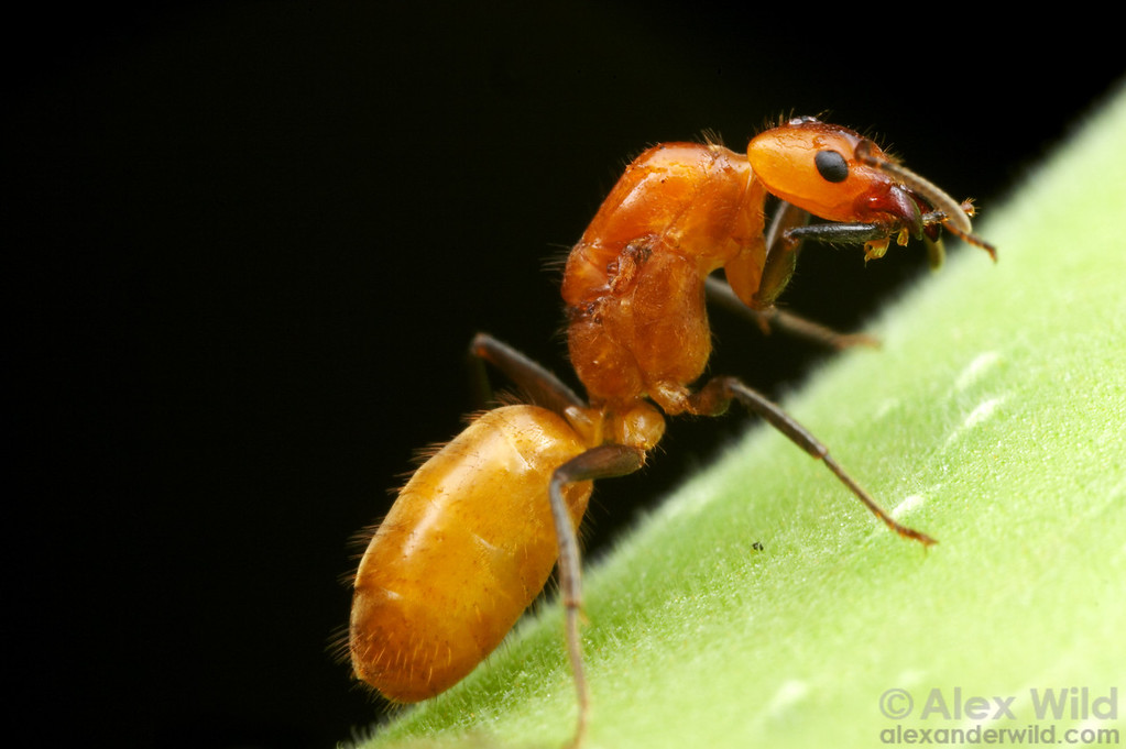 Taking a break from excavating a nest entrance hole, a young Azteca isthmica queen cleans herself.  Coclé, Panama