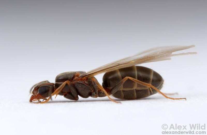 Portait of  virgin queen Dorymyrmex insanus.  Tucson, Arizona, USA