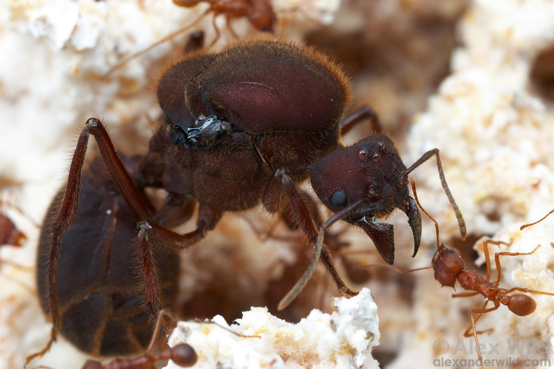 A queen leafcutter ant (Atta texana) dwarfs her daughter workers.  Captive colony at the University of Texas