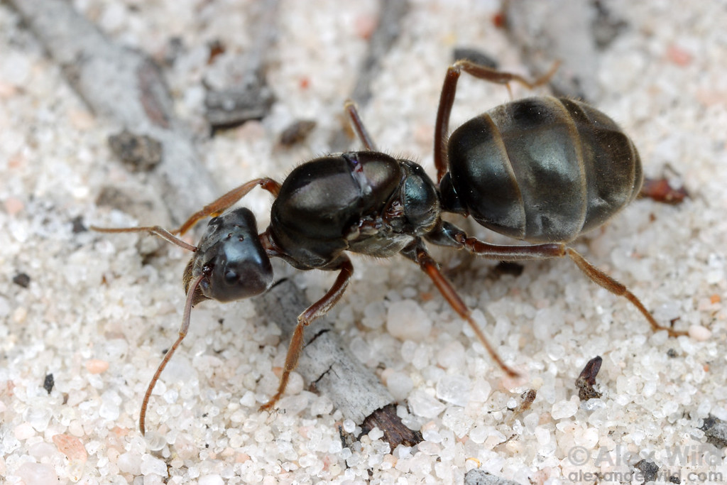 Iridomyrmex purpureus. A young meat ant queen searches for a place to start a nest.  Little Desert National Park, Victoria, Australia